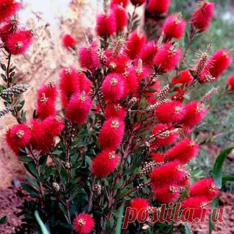Каллистемон – красивое вечнозелёное растение