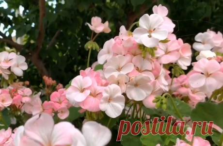У моей соседки очень пышно цветет герань на клумбе. Узнала её секрет и делюсь с вами | Городские цветы | Яндекс Дзен