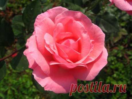 Как самостоятельно вырастить розу из черенка