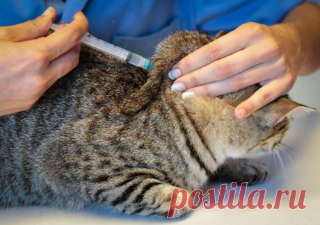 Многие лекарства для кошек (в виде капель или инъекций) назначают делать в особую часть тела — холку. Но не все владельцы понимают, где находится холка.