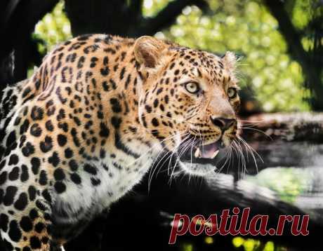 Переднеазиатский леопард явно удивлен тем, как быстро прошли выходные, и желает всем хорошего начала недели. Автор фото – Олег Богданов:
