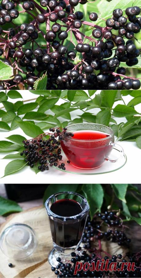 Напиток из черной бузины - эликсир здоровья, молодости и долголетия. - My izumrud