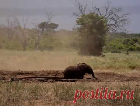 Слоненок не смог бы самостоятельно выбраться из водоема, но на помощь ему подоспели люди.