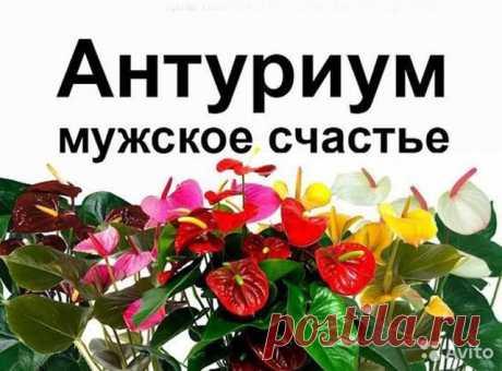 Антуриум мужское счастье Челябинск купить вЧелябинске | Товары для дома идачи | Авито