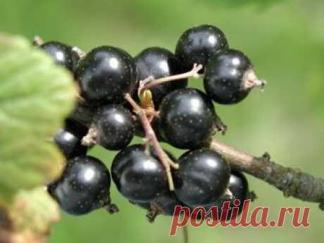 Обрезка чёрной смородины осенью — готовим любимую ягоду к зиме Ягодные кустарники мало просто посадить и время от времени поливать, за ними требуется полноценный уход, если, конечно, вы рассчитываете на достойный урожай каждый год. Касается это и любимой многими чёрной смородины, из которой можно сделать столько прекрасных заготовок...