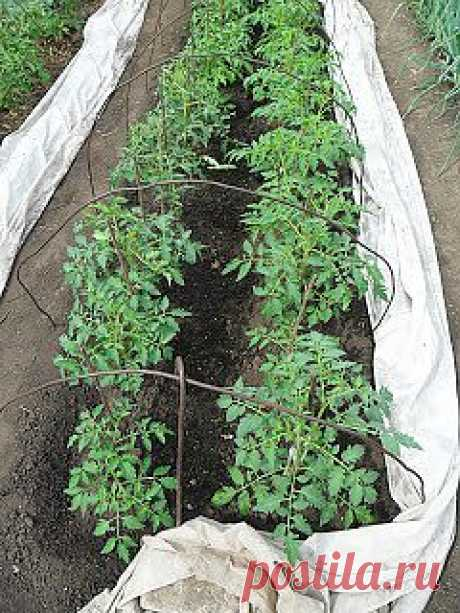 Опыт выращивания помидоров на дачном огороде в открытом грунте  Поскольку семена помидоров заготавливаю в основном сам, то гибриды практически не использую. Каждый год пробую не больше двух-трех новых сортов, и только если сорт подходит для местного климата, то оставляю его себе для постоянного выращивания.