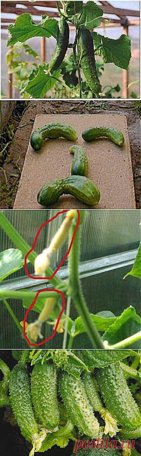 Типичные проблемы выращивания огурцов.