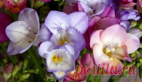 Фрезия: выращивание и уход, фото