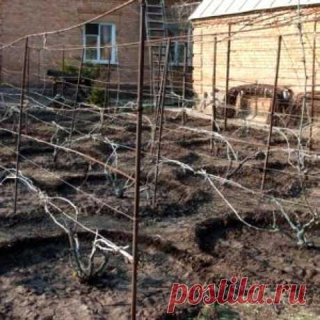 Подкармливаем виноград весной | Садовод (Усадьба)