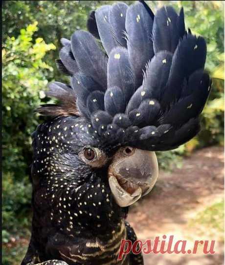 Траурный какаду #Бэнкса / Red-tailed black #cockatoo (лат. Calyptorhynchus banksii, syn. Calyptorhynchus magnificus) — птица семейства какаду.  #Фото@birdslovers