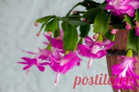 Кактус декабрист: виды, описание, особенности выращивания Многие начинающие цветоводы считают, что все кактусы растут в пустыне под жарким солнцем и не любят избытка влаги. Не всем известно, что существуют виды, которые растут и развиваются только во влажной...