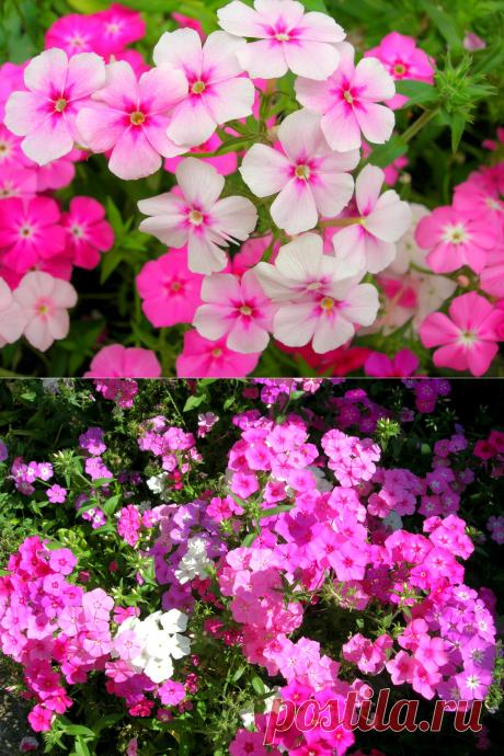 Красочные флоксы - цветы, которые украсят палисадник. Минимум усилий, чтобы вырастить (много фото). | 6 соток. Светлана Аниканова | Яндекс Дзен