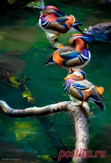 Утки мандаринки.