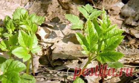 Сныть — один из главных врагов огородника, злостный сорняк, от которого нелегко избавиться. И лекарственное растение, обладающее целым рядом полезных