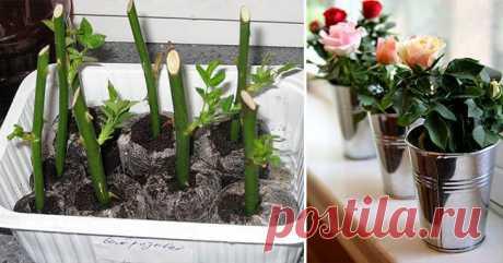 ВОТ КАК НАДО САЖАТЬ УЖЕ СРЕЗАННЫЕ РОЗЫ, ЧТОБЫ ОНИ РОСЛИ! - Цветочки - медиаплатформа МирТесен