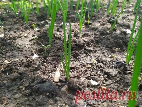Чем подкормить лук в фазе массового отрастания пера на нем | Летний досуг | Яндекс Дзен