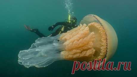 Медузу размером с человека обнаружили у берегов Британии - Новости Mail.ru
