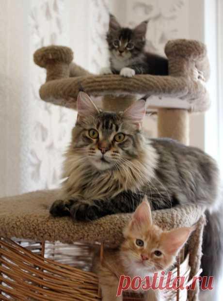 Наша дружная семья. Кошка и котята мейн-кун.