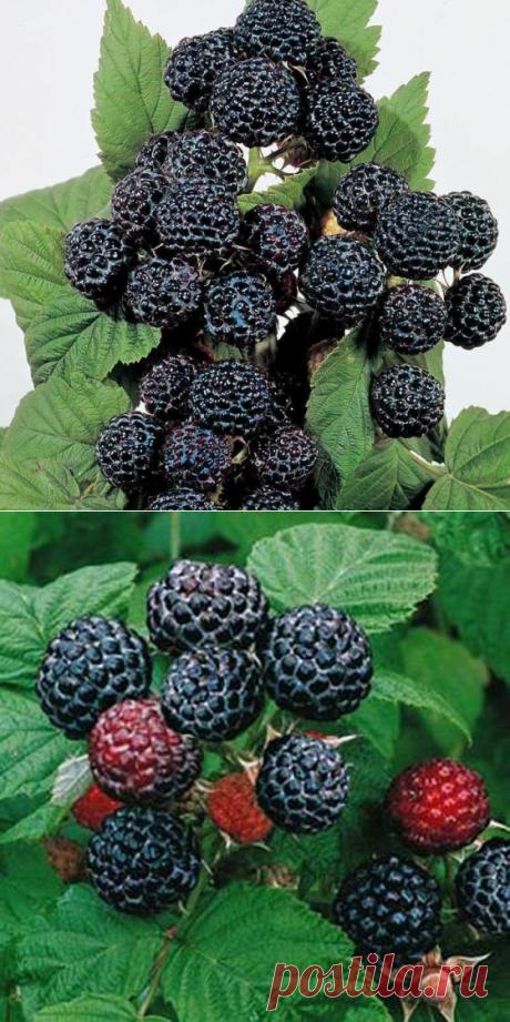 Как вырастить черную малину Кумберленд