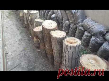 What tree to choose for cultivation of mushrooms (an oyster mushroom and honey agarics)