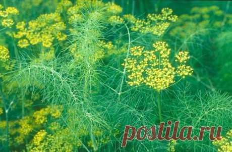 Как вырастить овощной фенхель на даче — 6 соток