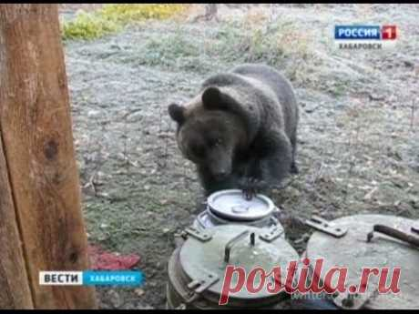 Вести-Хабаровск. Небывалое нашествие медведей