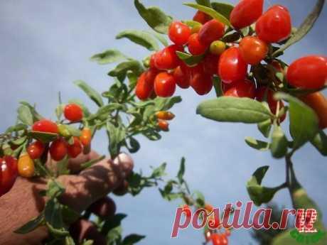 Как вырастить ягоды годжи у себя на участке — Петербургский клуб дачников и любителей загородной жизни 12 соток