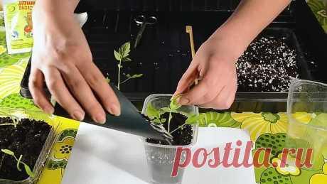 Китайский способ выращивания томатов. Что делать если рассада вытянулась.