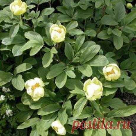 Усадьба   Цветы в саду : Пионы, цветущие в мае