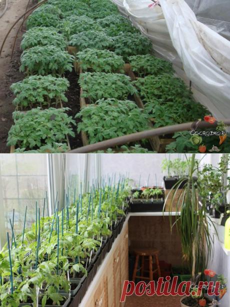 Чем подкормить рассаду помидор: лучшие эффективные смеси и средства