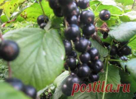 Пятилетний цикл выращивания смородины, а также крыжовника — 6 соток