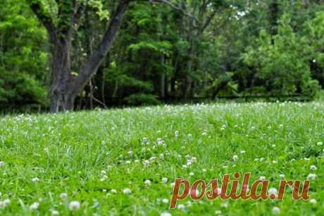 Оригинальный незлаковый газон: выбор трав   Дача, сад, огород, рыбалка, рецепты, красота, здоровье