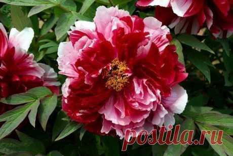 Древовидный пион: 7 правил выращивания Древовидные пионы вырастают до 2 метров, а цветут до 50 лет, что делает цветы долгожителями. Растение достаточно привередливое. Поэтому следует сразу понимать важность ухода, перечисленного ниже.