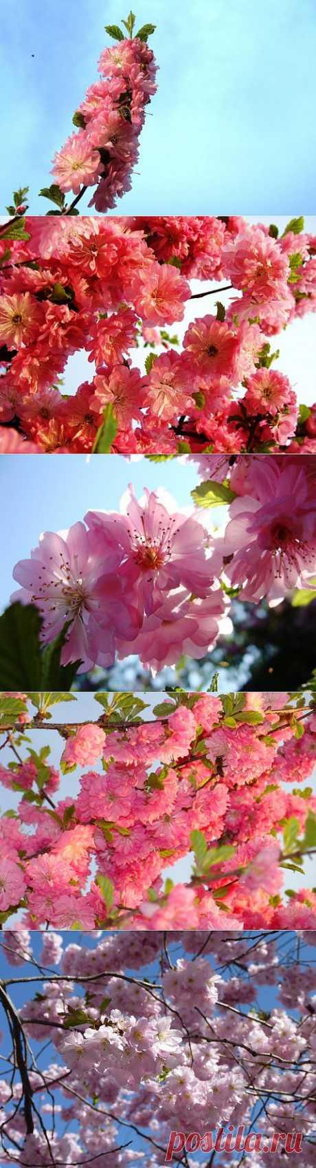Сакура в цвету | Фотоискусство