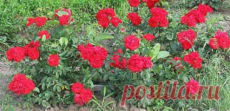 Правила выращивания роз |