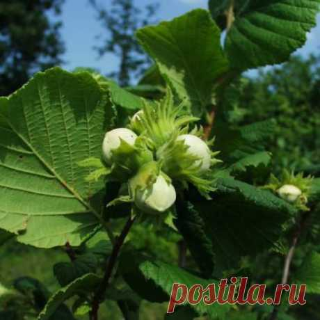 7 секретов выращивания фундука на даче