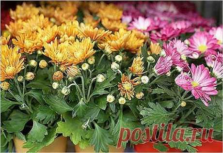 Хризантема – цветок долгожителей