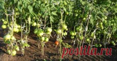 Народные средства для подкормки помидоров – самые лучшие рецепты Томаты можно подкармливать не только готовыми удобрениями на основе химических соединений. Также отлично зарекомендовали себя натуральные подкормки, благодаря которым растения дают хороший урожай.