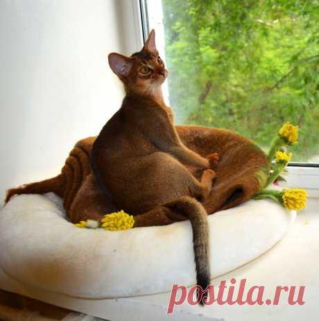 Абиссинский кот дикого окраса , питомник абиссинских кошек Super-Aby