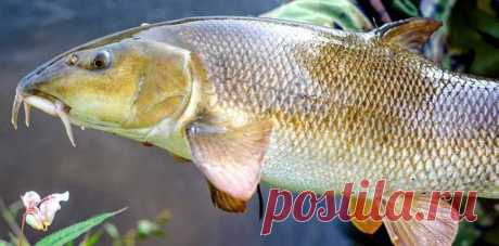 Ядовитые речные рыбы России | Рекомендательная система Пульс Mail.ru