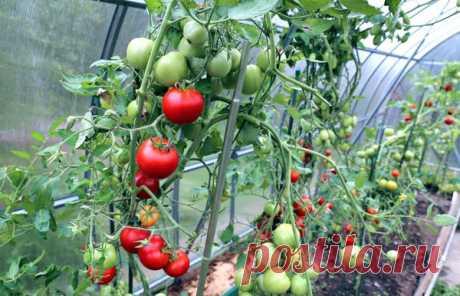 Что можно сажать в теплице вместе с помидорами | Дачные секреты от Виктории Радзевской | Яндекс Дзен