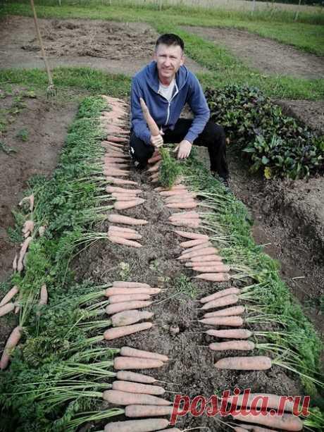 Вот такая в этом году крупная морковь!  Сохрани, чтобы не потерять!