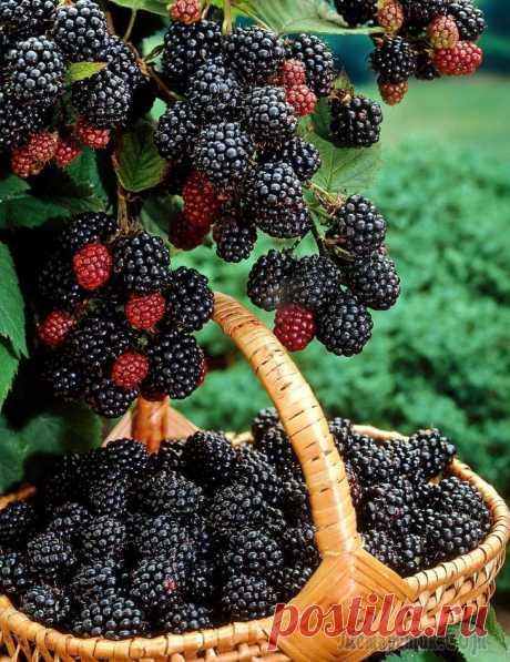 Черная малина кумберленд, посадка и уход