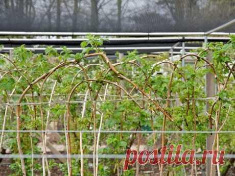 Уход за малиной в мае для лучшего урожая! | 6 соток