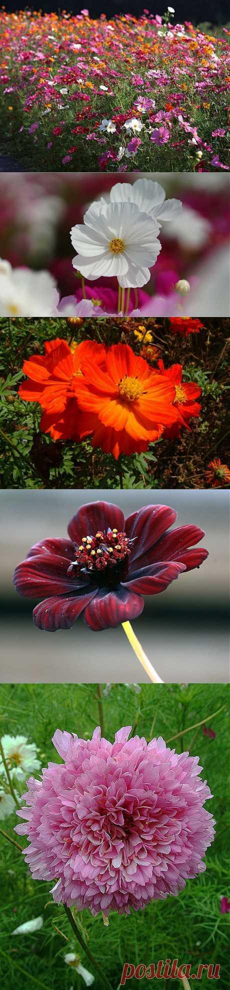 Изящная и простая космея: посадка, выращивание, уход.С ее яркими цветками ассоциируется радужное лето и теплое солнце. Эти неприхотливые цветы, прибывшие к нам когда-то из Мексики, сейчас можно встретить повсеместно, их любят сажать и в городских дворах, и в частных домах, и на дачах. При взгляде на клумбу с космеями кажется, что это пушистый зеленый ковер с разноцветными звездочками.