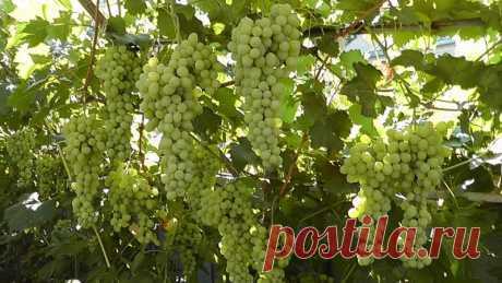 Как вырастить виноград, если вы раньше никогда этого не делали? — Садоводка