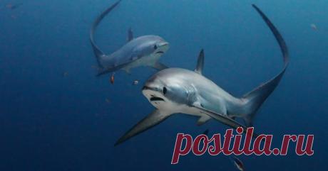 Лисья акула: смертоносная рыба-миляга Легко быть няшным, когда ты маленький пушистый и большеглазый.А ты попробуй очаровывать человеков, когда эволюция вытянула тебя в 5-метровую дылду и заделала акулой! Чтобы выкрутиться из нелёгкой сит...