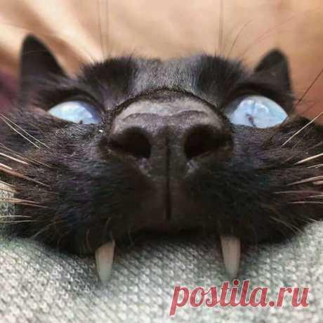 Мрякула Котизм: Мрякула