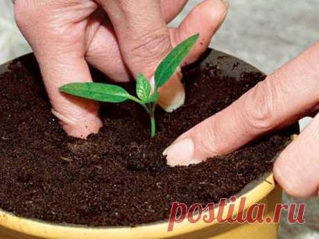 10 ошибок при выращивании рассады