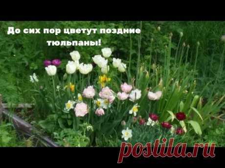 До сих пор цветут поздние тюльпаны! - YouTube
